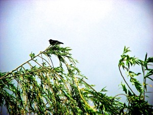 Red-winged blackbird.